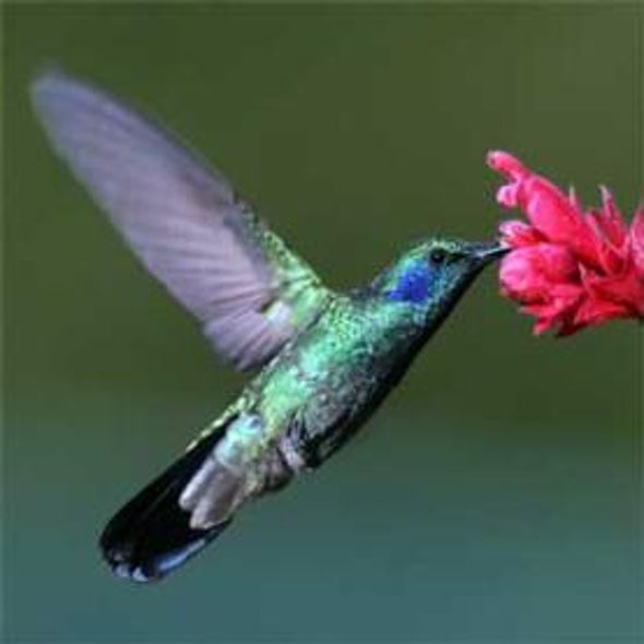 Hummingbirds @ Home
