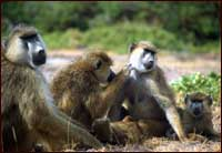Baboons Recognize Complex Relationships