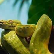 CRISPR-Edited Mouse Genes Helps Understand How Snakes Lost Their Legs