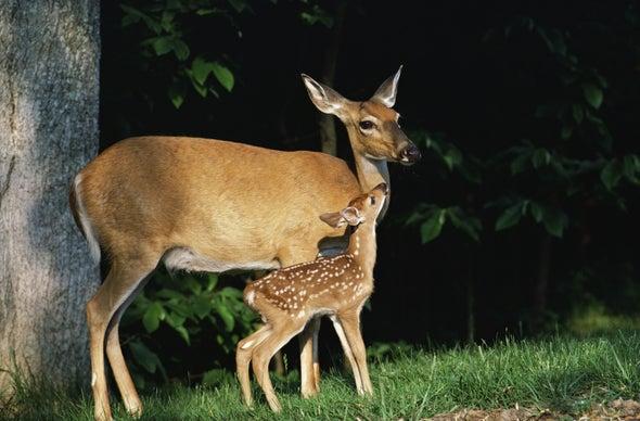 Grazing Deer Alter Forest Acoustics