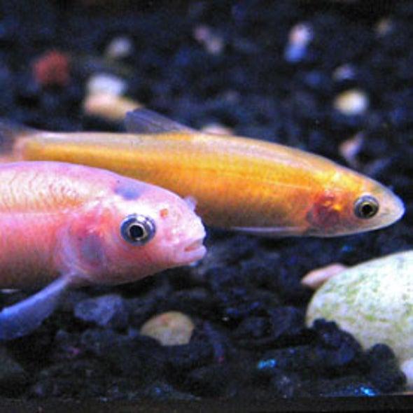 Hormones from Livestock Operations May Skew Fish Gender