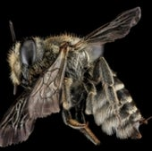 The alfalfa leafcutter bee,