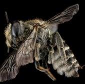 The alfalfa leafcutter bee,