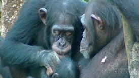 Chimps Engage in Costly Quid pro Quo