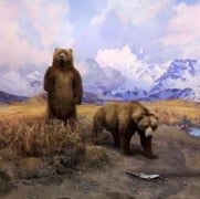 ALASKA BROWN BEAR RESTORED