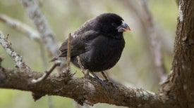 Evolution of Darwin's Finches Tracked at Genetic Level
