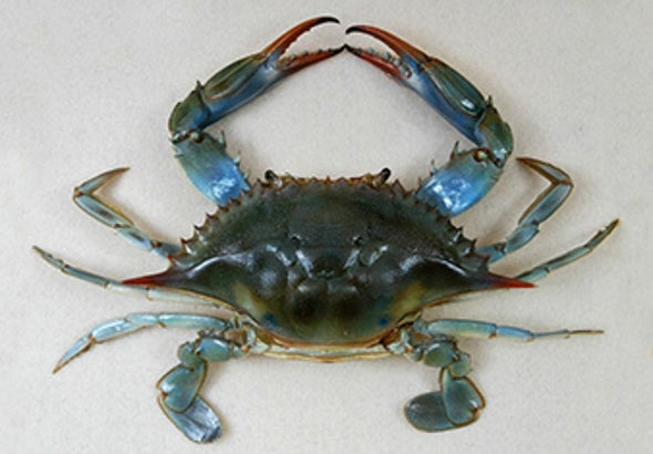 Blue Crabs Migrate North as Ocean Warms