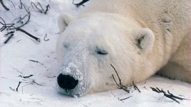Rising Temps Lower Polar Bear Mercury Intake