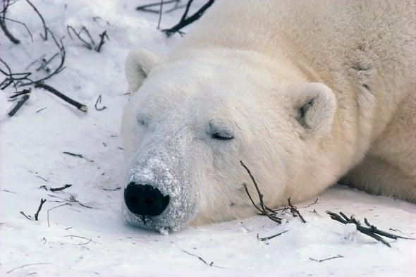 Rising Temps Lower Polar Bear Mercury Intake