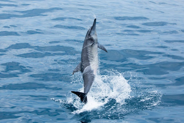 Are Dolphins Right-Handed or Left-Handed?