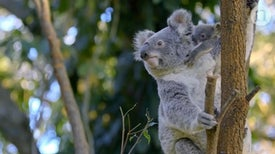 The Koala Code: Secrets of the Koala Genome