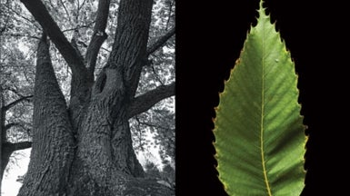 The American Chestnut's Genetic Rebirth