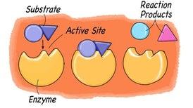 Exploring Enzymes