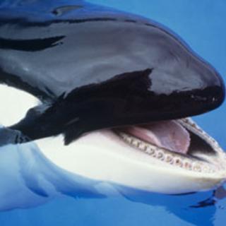 killer whales in the wild versus