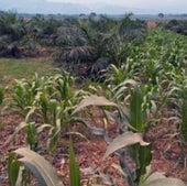 PALM OR MAIZE:
