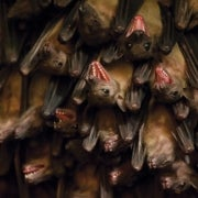 Baby Bats Babble through Childhood Like We Do