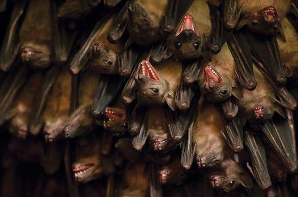 Baby Bats Babble through Childhood Like We Do