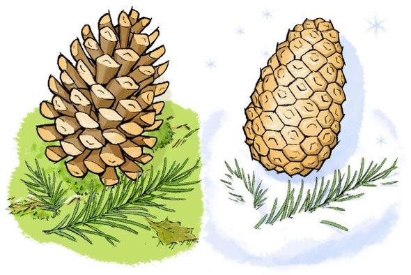 Unlocking the Secrets of the Pinecone