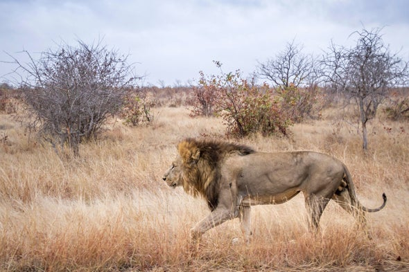 How Starting Brush Fires Could Save Africa's Disappearing Lions