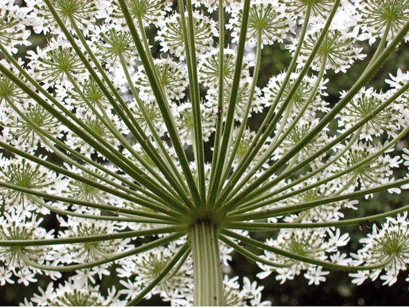 Invasive Giant Hogweed's Solar-Activated Sap Causes Blistering Skin Burns