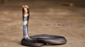 Snakes Could Be the Original Source of the New Coronavirus Outbreak in China