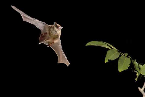 Bats on Helium Reveal an Innate Sense of the Speed of Sound