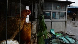 Changes to Bird Flu Virus May Make Human Transmission More Likely