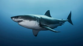 Ocean Acidification Could Eat Away at Sharks' Teeth and Scales