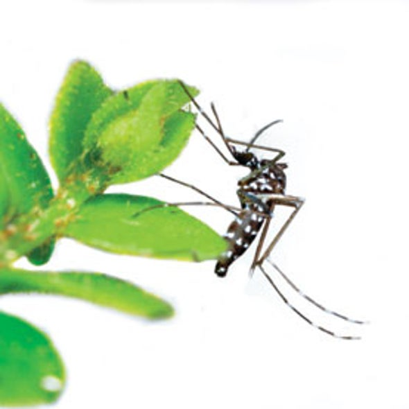 Anatomy Of A Mosquito Borne Outbreak Scientific American