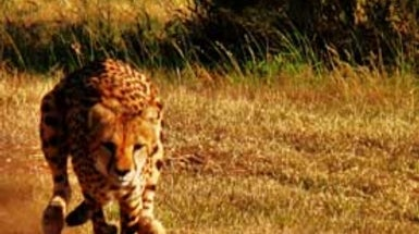 Speed Test Devised for Wild Cheetahs