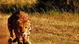 Speed Test Devised for Wild Cheetahs