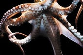 The Mind of an Octopus