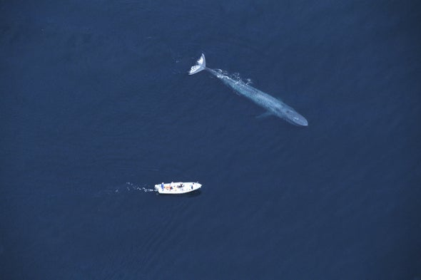Why Are Blue Whales So Gigantic?