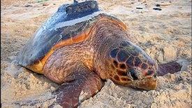 Tracking Turtles