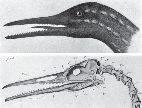 Large Loon Fossil, with Lots of Teeth, 1915