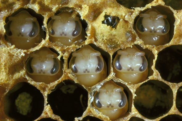 Scent of Death: Honeybees Use Odors to Detect Deceased Broods