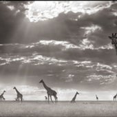 GIRAFFES IN EVENING LIGHT