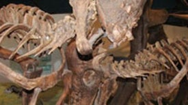Fossil Scars Capture Dinosaur Head-Butts