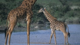 Mom's Genes Make Some Giraffes Hard to Spot