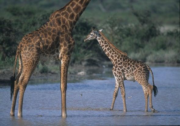Mom's Genes Make Some Giraffes Hard to Spot