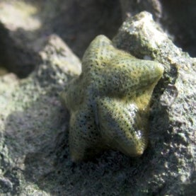 See Change: Rapid Emergence of New Sea Star Species Illustrates Evolution's Power