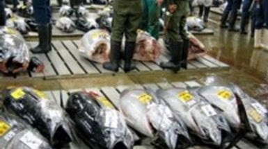 Is the Bluefin Tuna an Endangered Species?