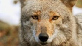 Are Coyotes or Humans the Perpetrators of Suburban Animal Attacks?