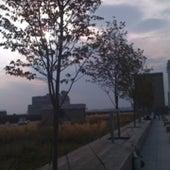 JUNEBERRY TREES