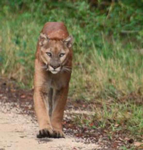 How to Restore the Florida Panther: Add a Little Texas Cougar [Slide Show]