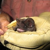 FUNCTION-FIRST LOSER: FLORIDA BONNETED BAT