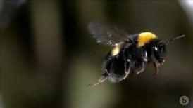 Bumblebees Collide Midair Like Bumper Cars
