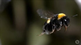 Bumblebees Collide Midair Like Bumper Cars