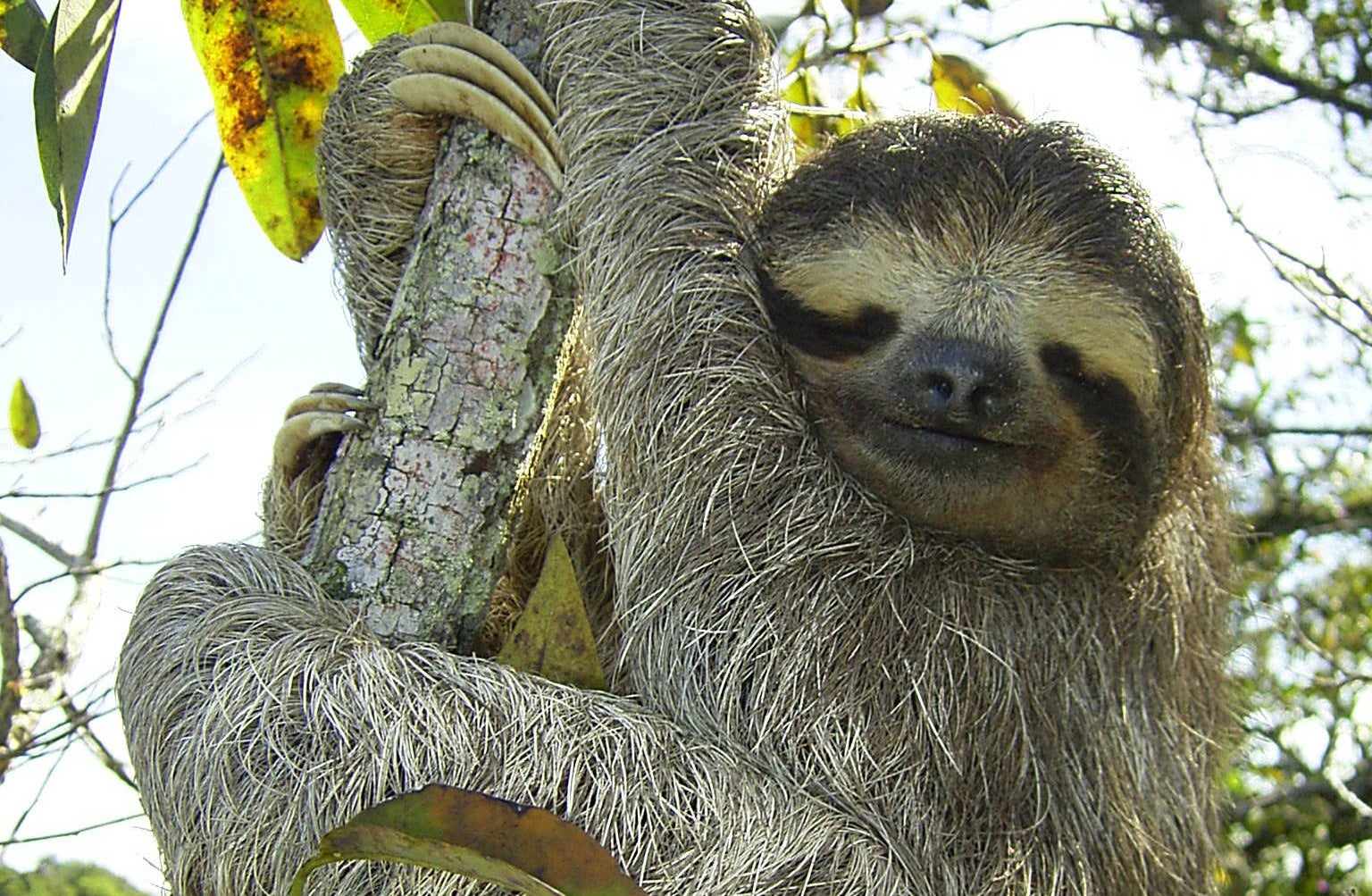 Laid-Back Sloths Are the Masters of Slow - Scientific American