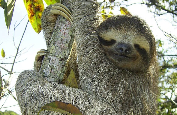Laid-Back Sloths Are the Masters of Slow